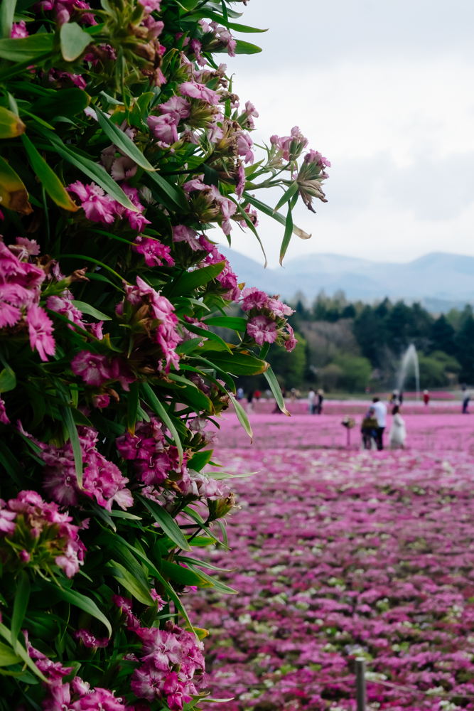 What it's Like to Visit the Mt Fuji Pink Moss Festival